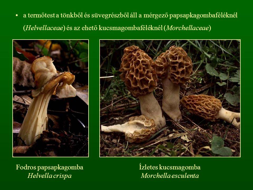 a termőtest a tönkből és süvegrészből áll a mérgező papsapkagombaféléknél (Helvellaceae) és az ehető kucsmagombaféléknél (Morchellaceae)