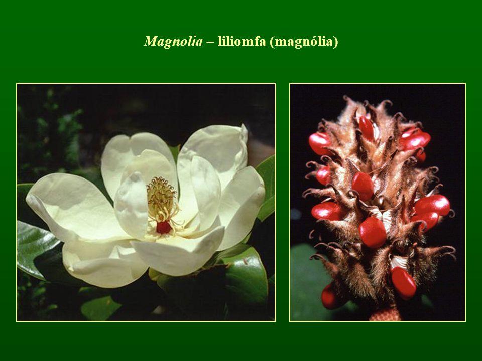 Magnolia – liliomfa (magnólia)