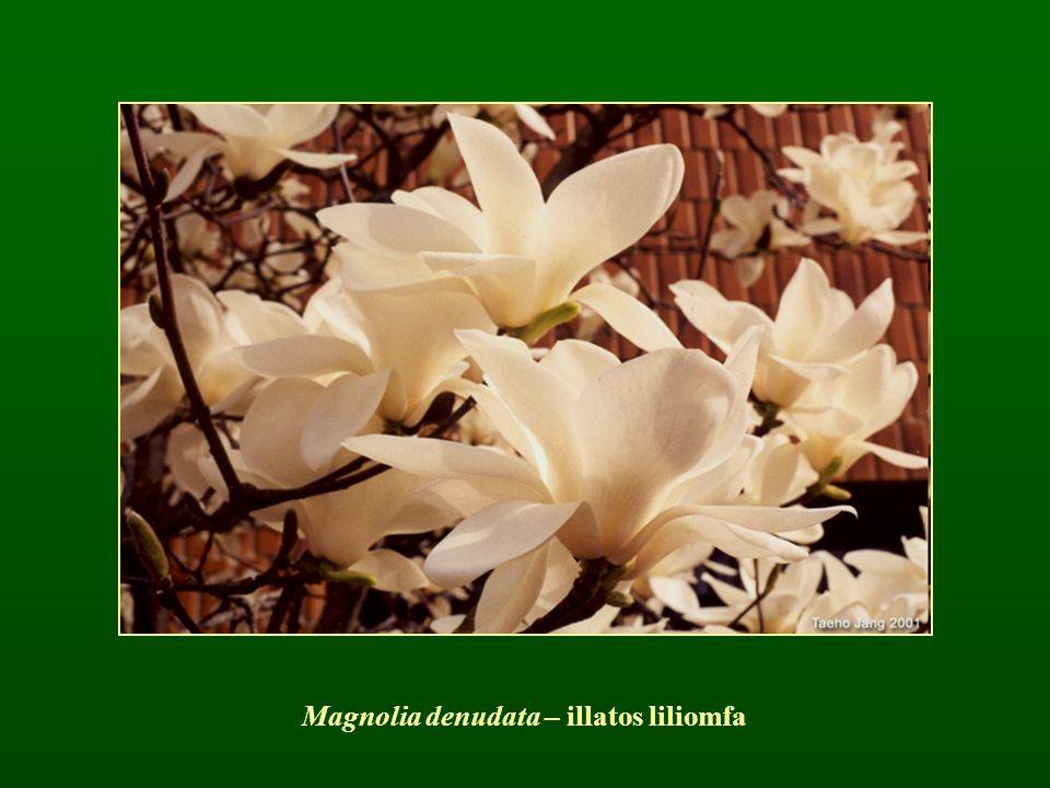 Magnolia denudata – illatos liliomfa