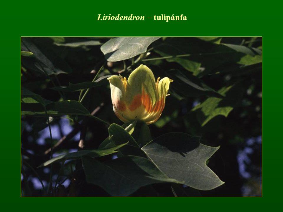 Liriodendron – tulipánfa