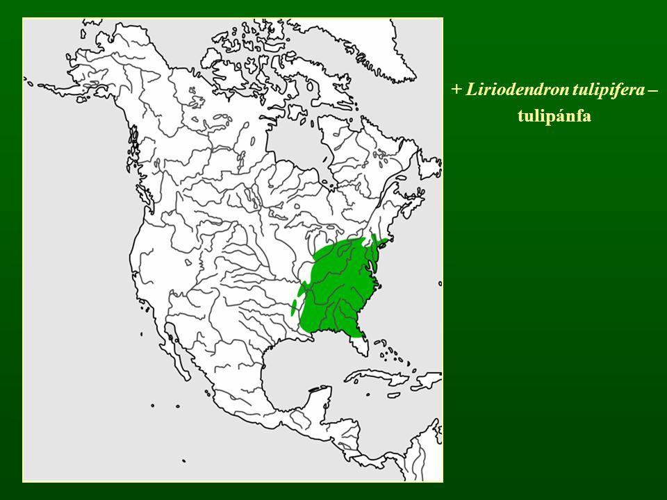 + Liriodendron tulipifera –