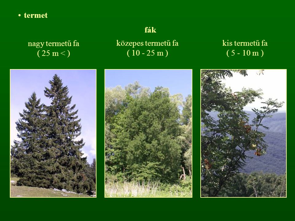 termet fák nagy termetű fa ( 25 m < ) közepes termetű fa ( 10 - 25 m ) kis termetű fa ( 5 - 10 m )