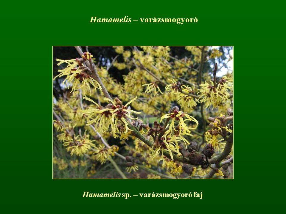 Hamamelis sp. – varázsmogyoró faj