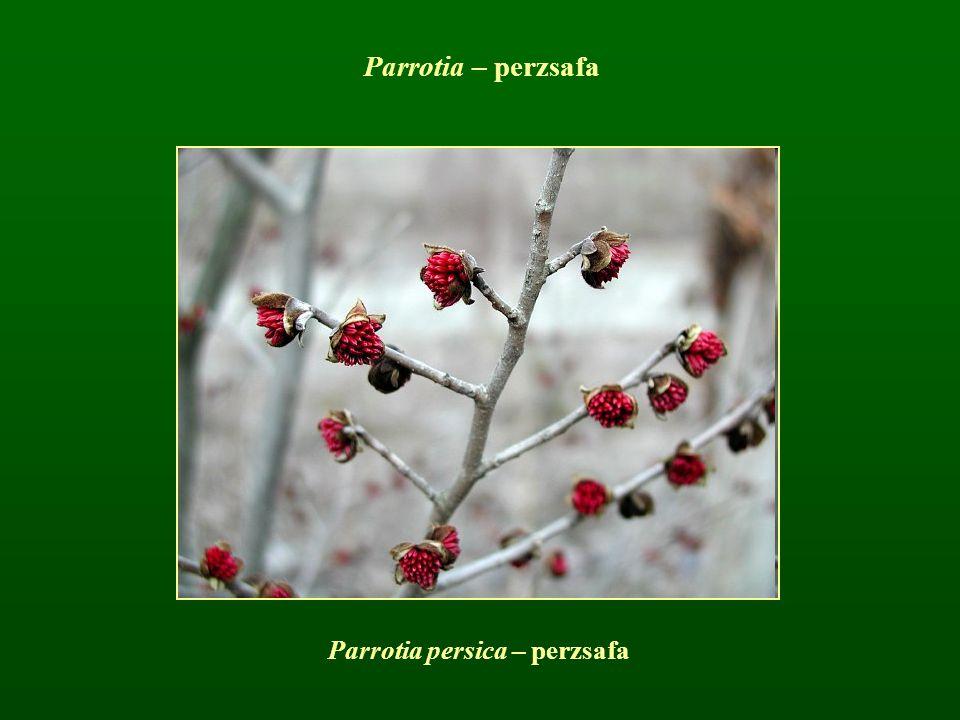 Parrotia persica – perzsafa