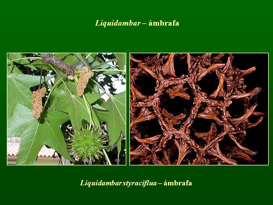 Liquidambar styraciflua – ámbrafa