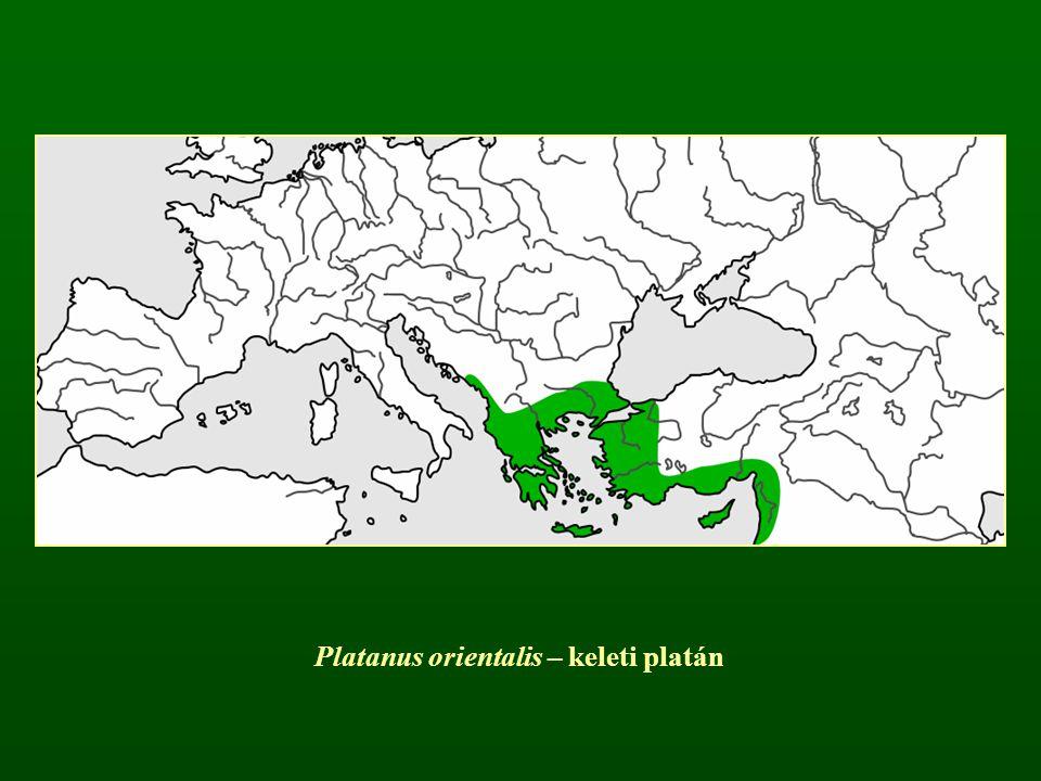 Platanus orientalis – keleti platán
