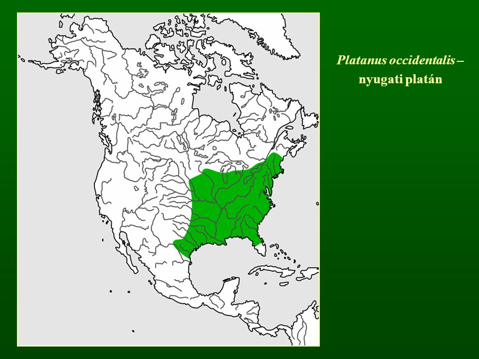 Platanus occidentalis –