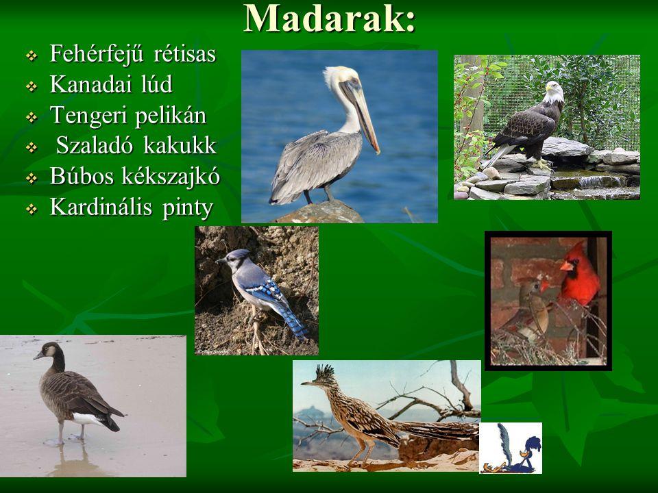 Madarak: Fehérfejű rétisas Kanadai lúd Tengeri pelikán Szaladó kakukk