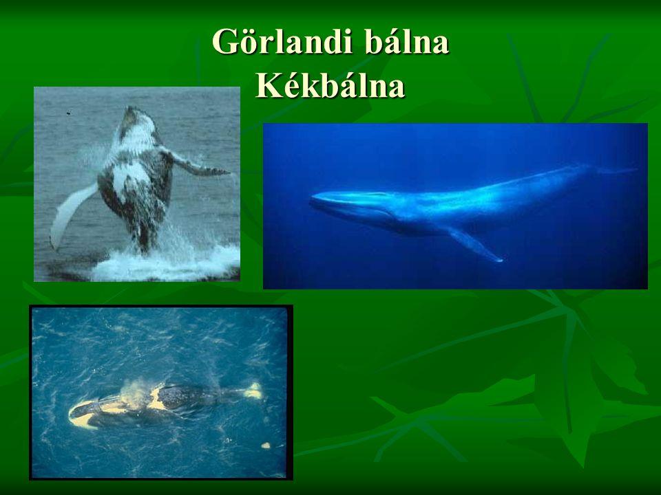 Görlandi bálna Kékbálna