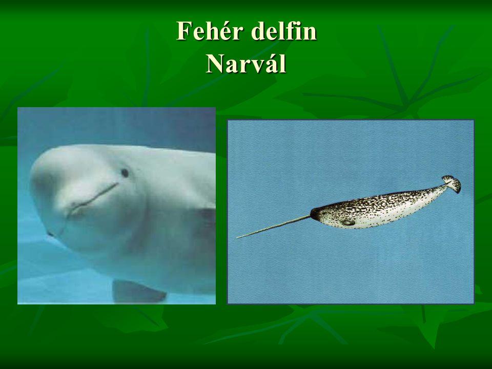 Fehér delfin Narvál