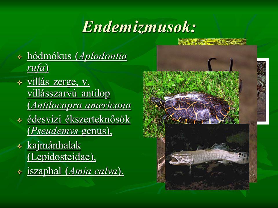 Endemizmusok: hódmókus (Aplodontia rufa)