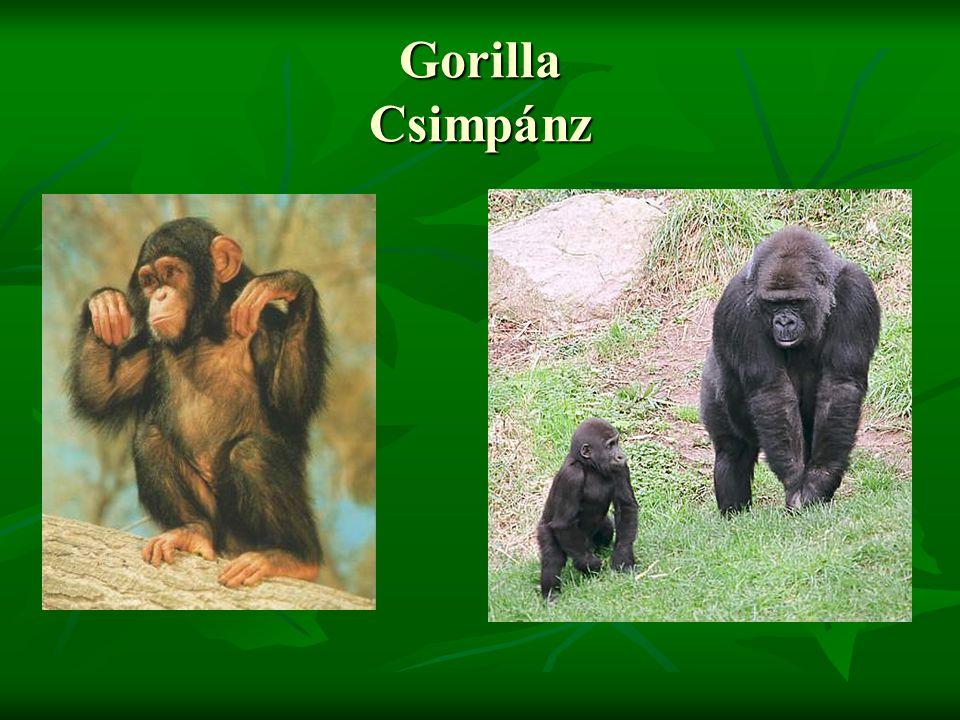 Gorilla Csimpánz
