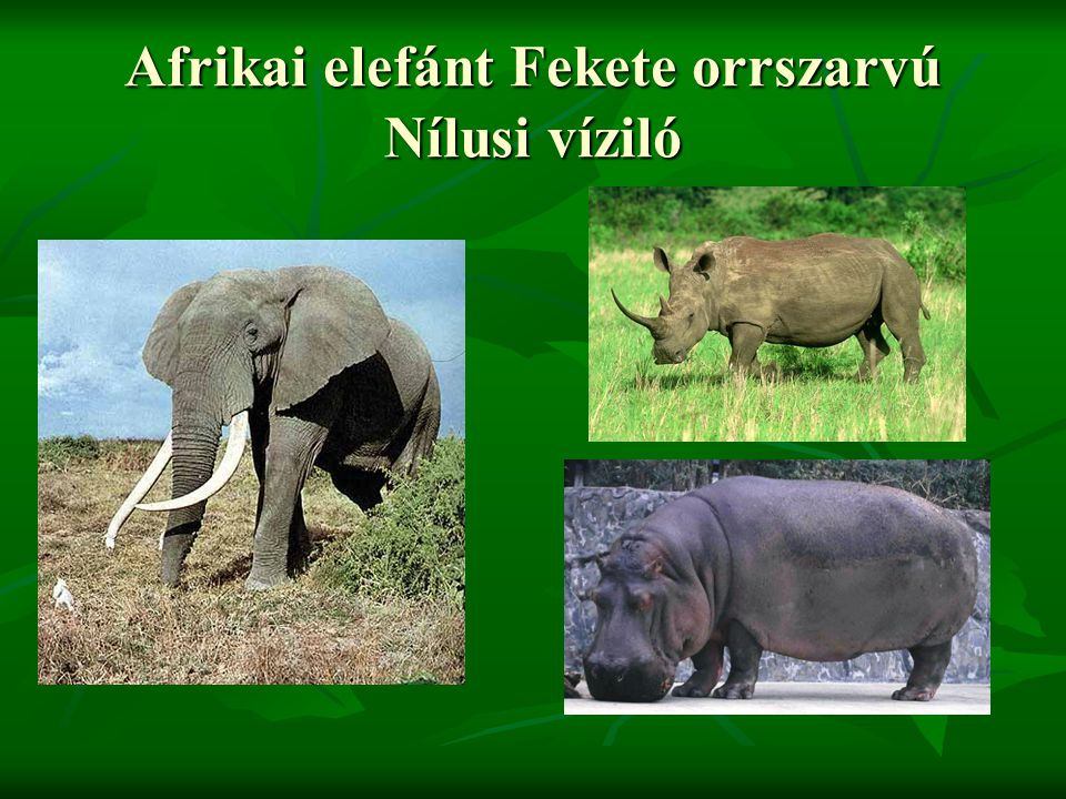 Afrikai elefánt Fekete orrszarvú Nílusi víziló