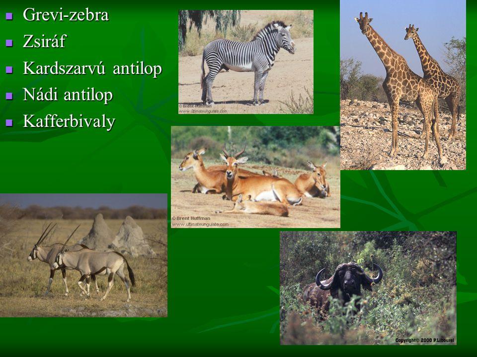Grevi-zebra Zsiráf Kardszarvú antilop Nádi antilop Kafferbivaly
