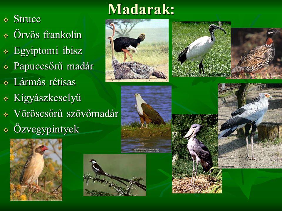Madarak: Strucc Örvös frankolin Egyiptomi íbisz Papuccsőrű madár
