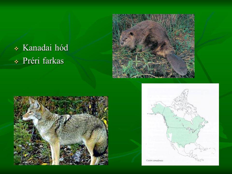 Kanadai hód Préri farkas