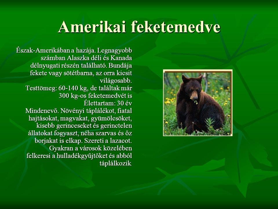 Amerikai feketemedve