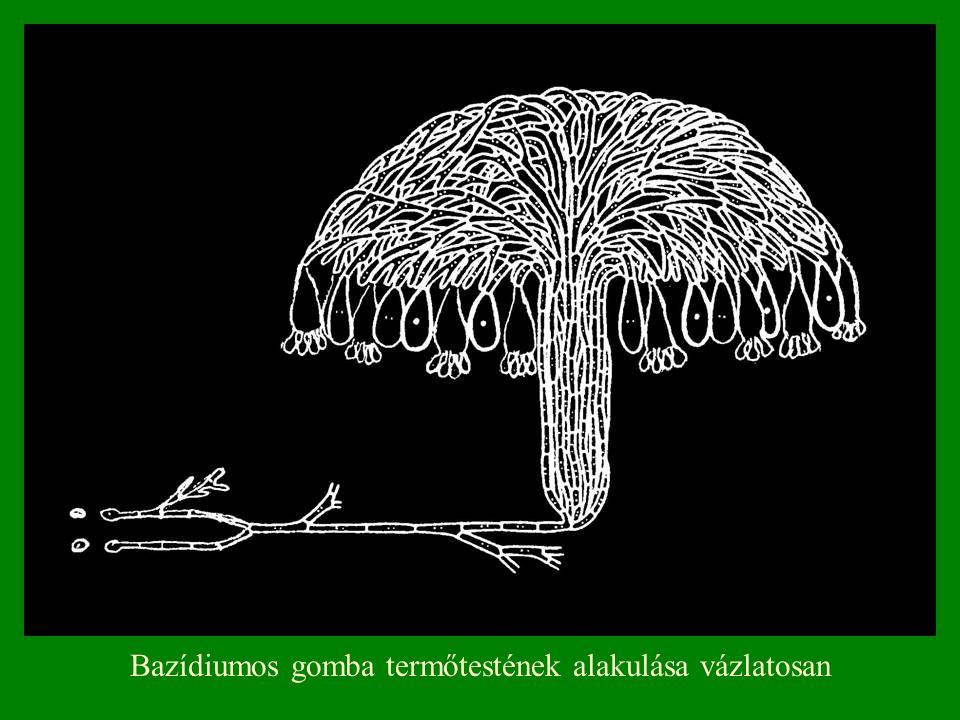 Bazídiumos gomba termőtestének alakulása vázlatosan