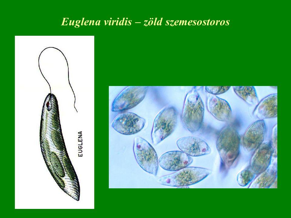 Euglena viridis – zöld szemesostoros