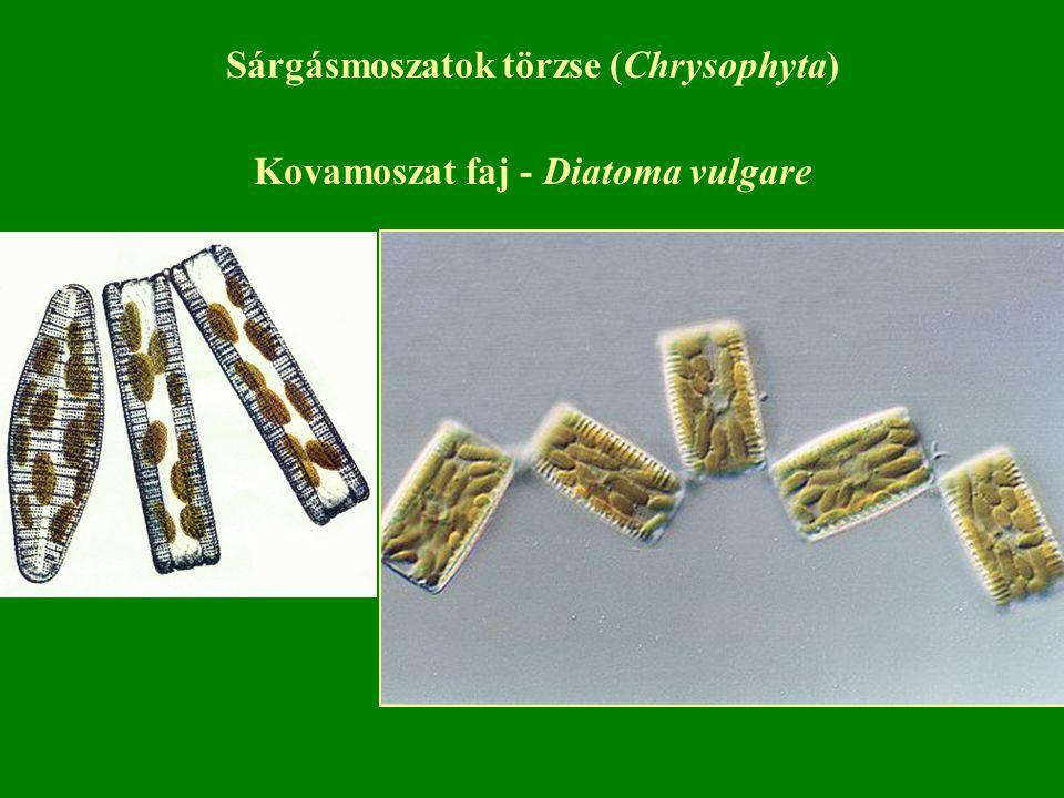 Sárgásmoszatok törzse (Chrysophyta) Kovamoszat faj - Diatoma vulgare
