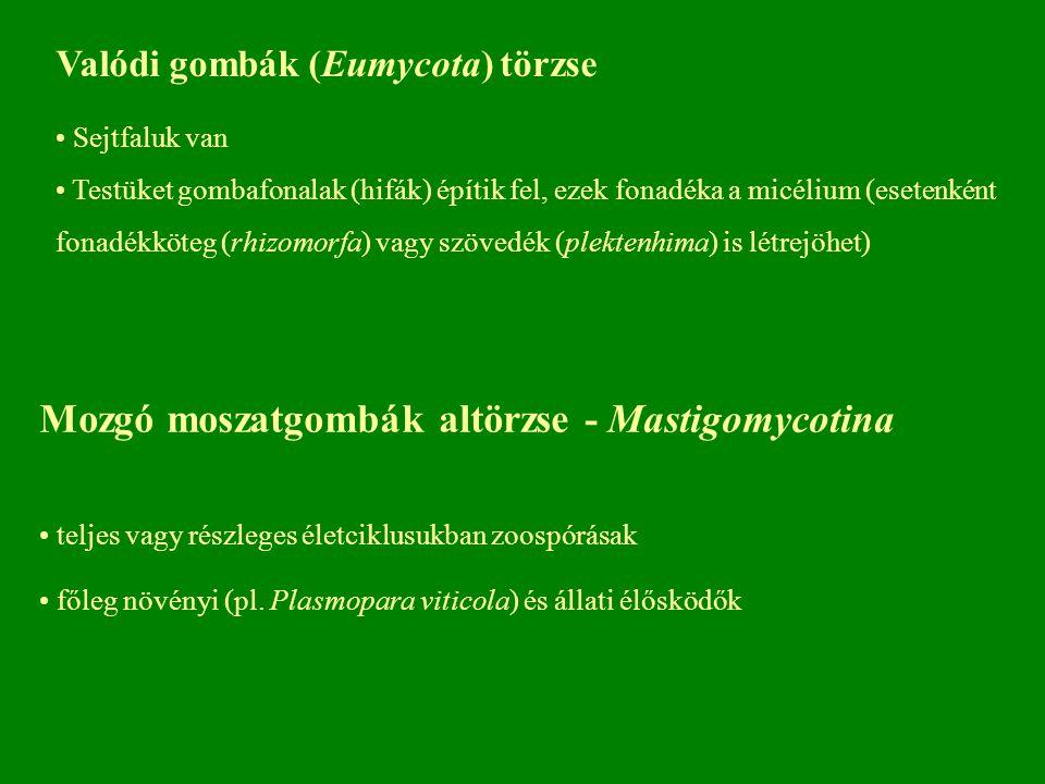 Mozgó moszatgombák altörzse - Mastigomycotina