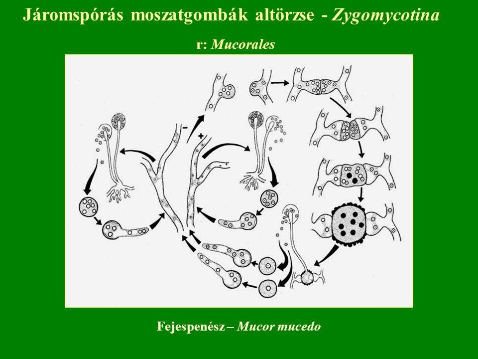 Járomspórás moszatgombák altörzse - Zygomycotina