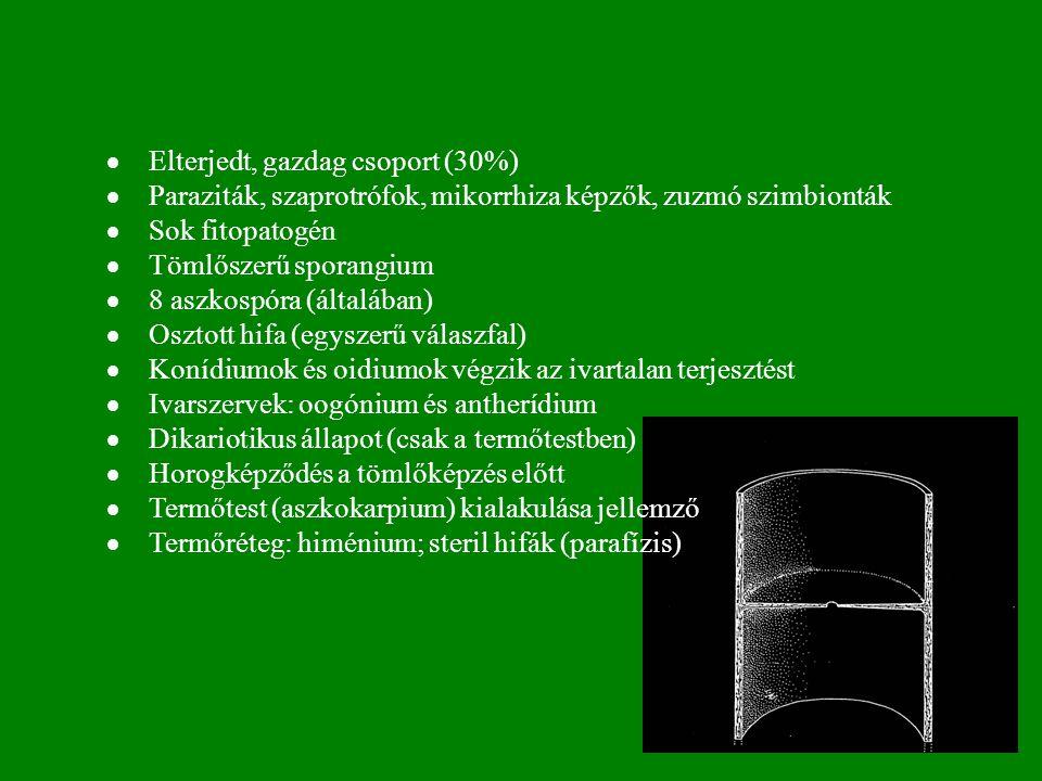 · Elterjedt, gazdag csoport (30%) · Paraziták, szaprotrófok, mikorrhiza képzők, zuzmó szimbionták.