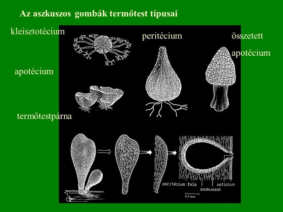 Az aszkuszos gombák termőtest típusai