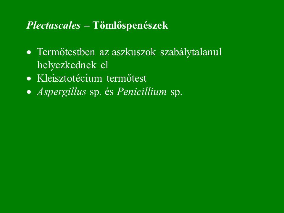 Plectascales – Tömlőspenészek · Termőtestben az aszkuszok szabálytalanul helyezkednek el · Kleisztotécium termőtest · Aspergillus sp.