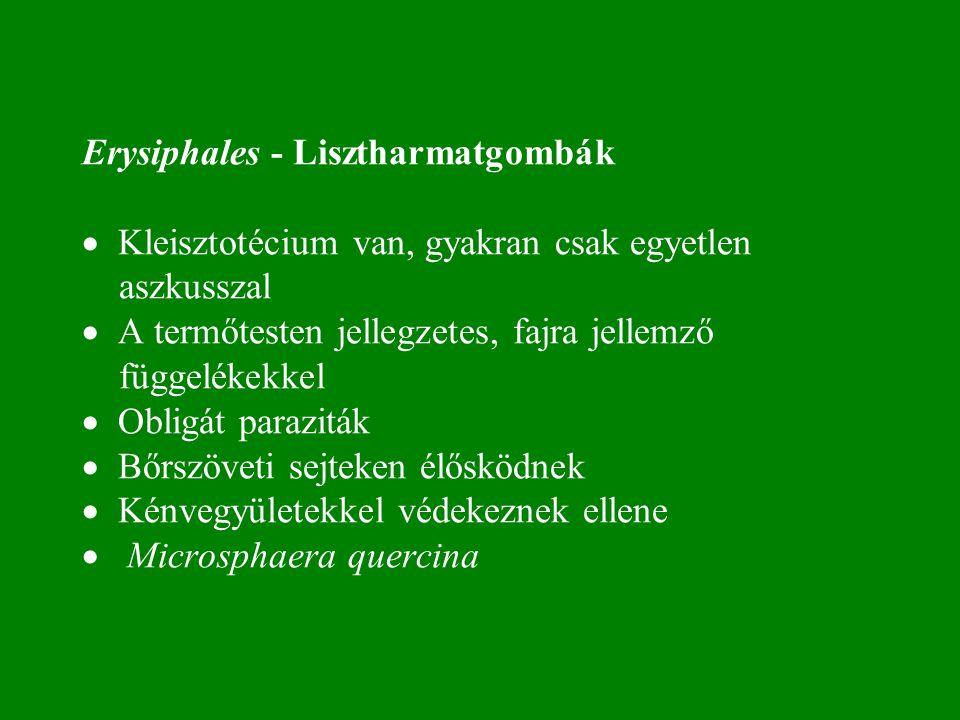 Erysiphales - Lisztharmatgombák · Kleisztotécium van, gyakran csak egyetlen aszkusszal · A termőtesten jellegzetes, fajra jellemző függelékekkel · Obligát paraziták · Bőrszöveti sejteken élősködnek · Kénvegyületekkel védekeznek ellene · Microsphaera quercina