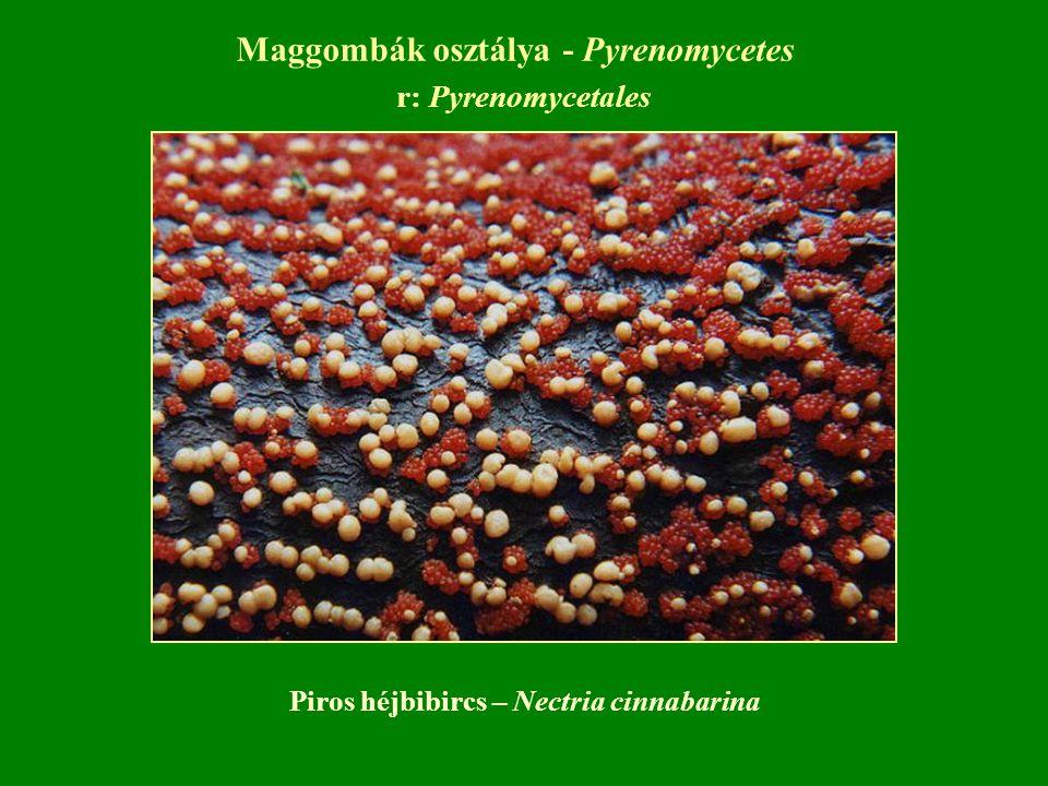 Maggombák osztálya - Pyrenomycetes