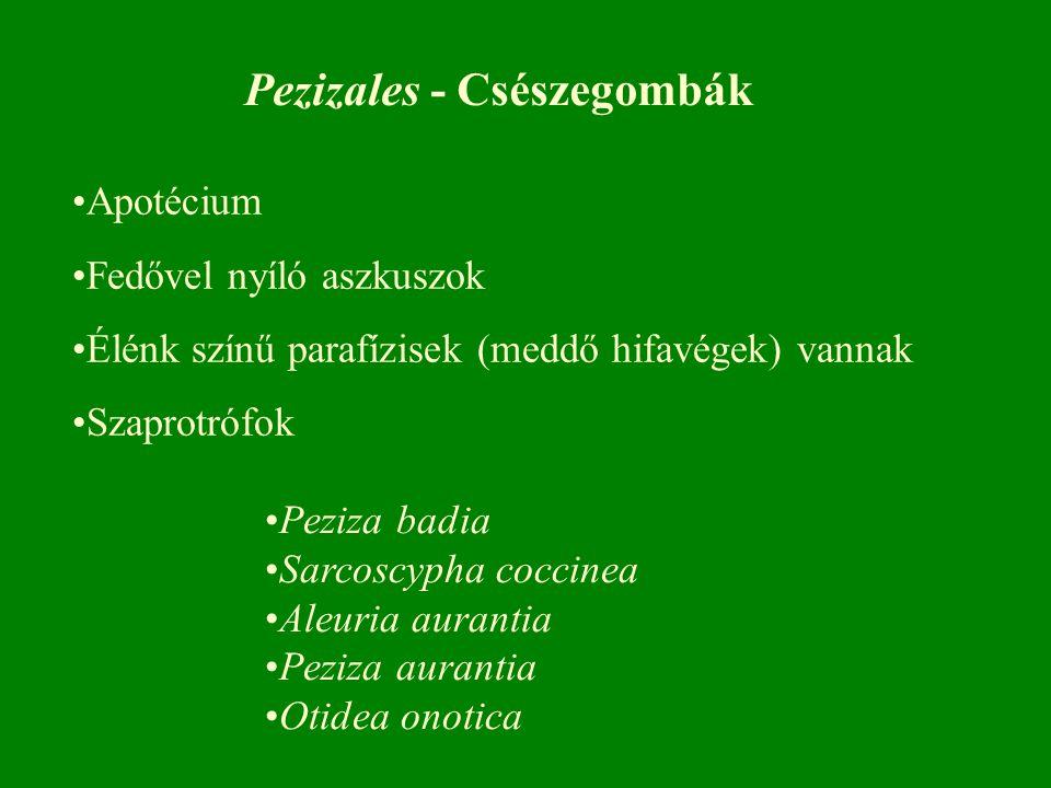 Pezizales - Csészegombák