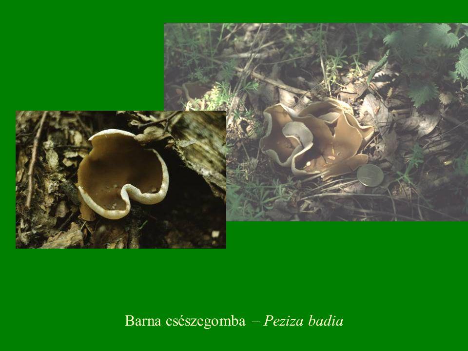 Barna csészegomba – Peziza badia
