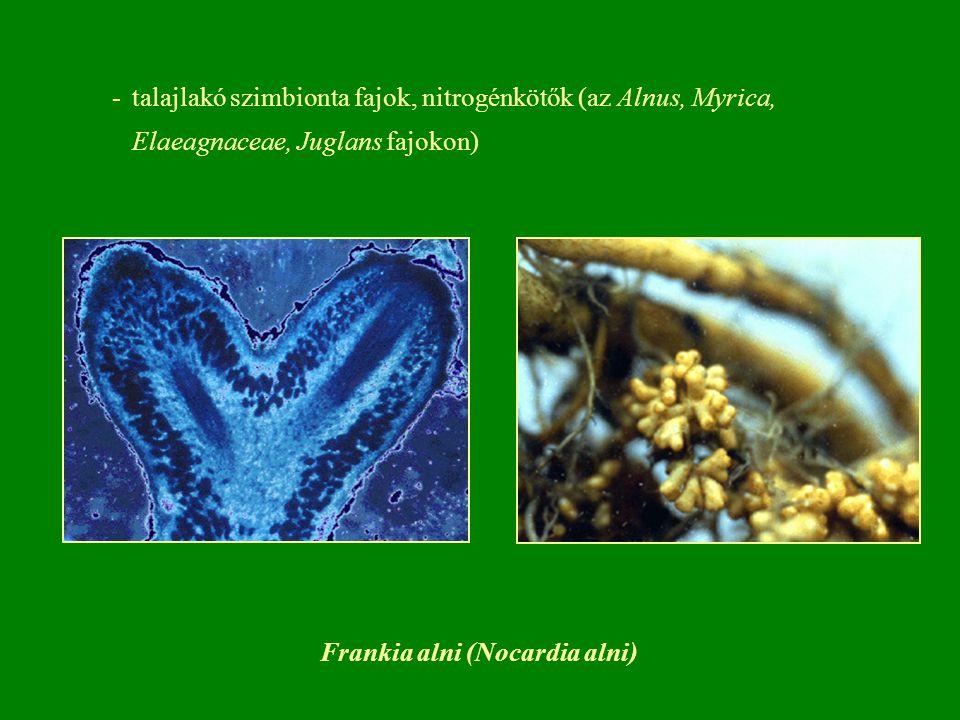 Frankia alni (Nocardia alni)