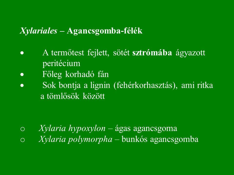 Xylariales – Agancsgomba-félék · A termőtest fejlett, sötét sztrómába ágyazott peritécium · Főleg korhadó fán · Sok bontja a lignin (fehérkorhasztás), ami ritka a tömlősök között o Xylaria hypoxylon – ágas agancsgoma o Xylaria polymorpha – bunkós agancsgomba