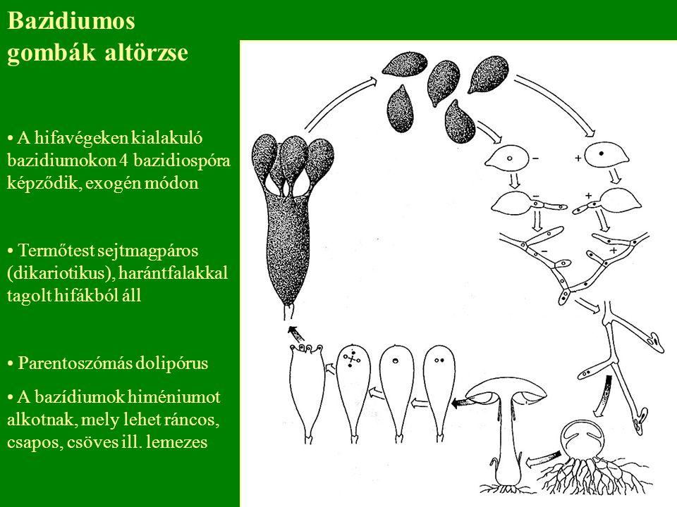 Bazidiumos gombák altörzse
