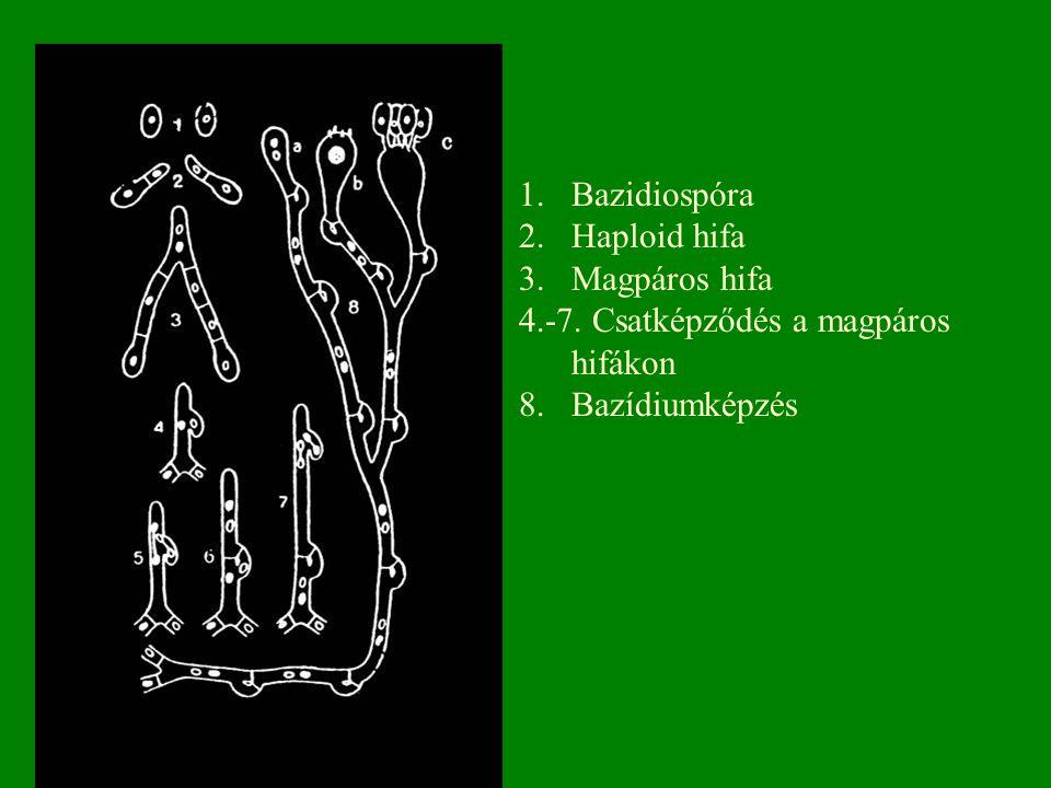 Bazidiospóra Haploid hifa Magpáros hifa 4.-7. Csatképződés a magpáros hifákon 8. Bazídiumképzés