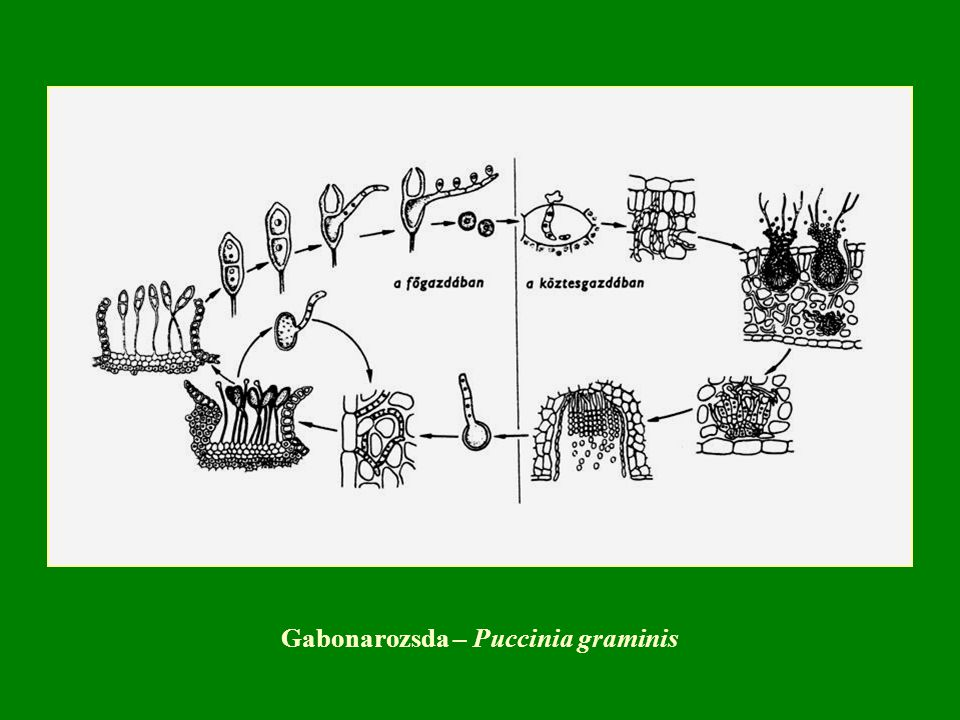 Gabonarozsda – Puccinia graminis
