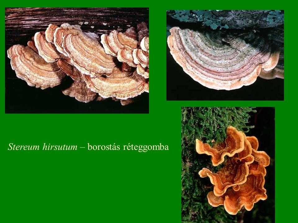 Stereum hirsutum – borostás réteggomba