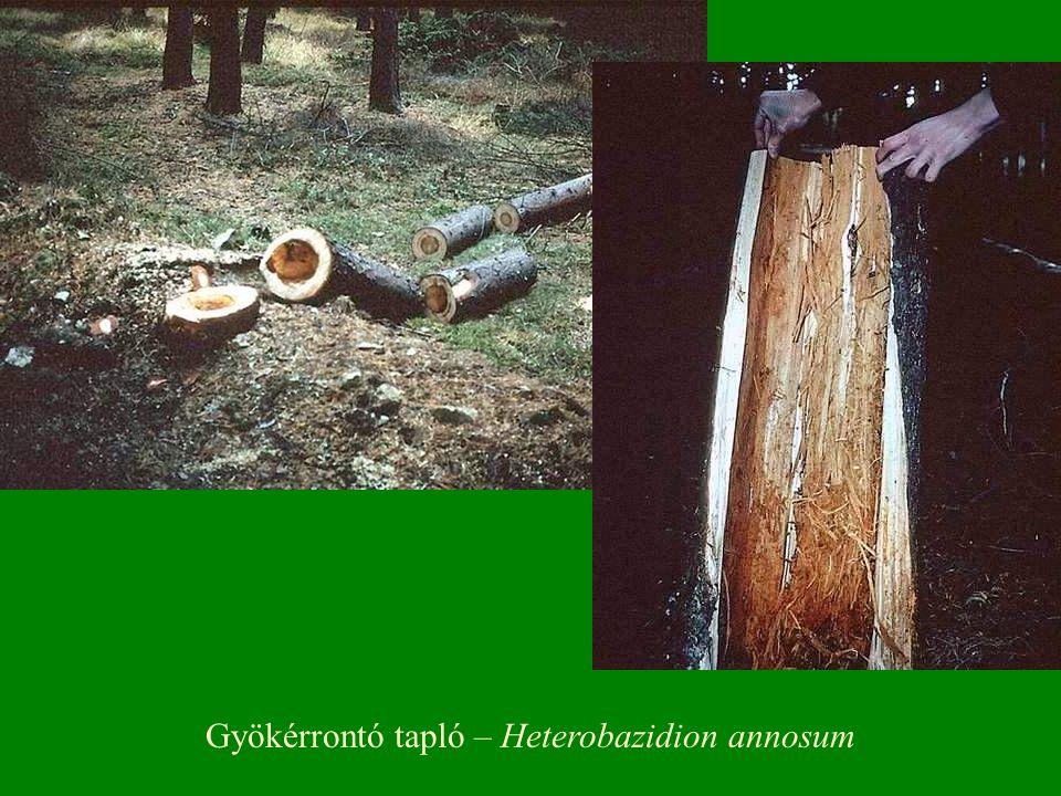 Gyökérrontó tapló – Heterobazidion annosum