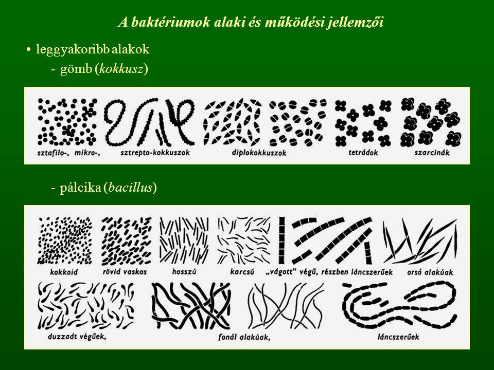 A baktériumok alaki és működési jellemzői