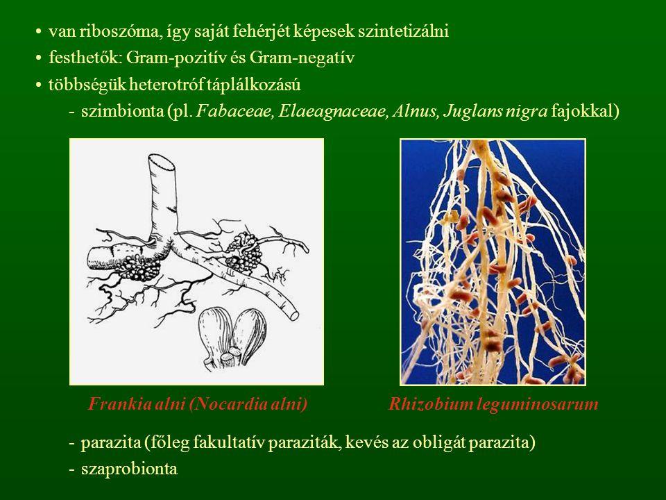 van riboszóma, így saját fehérjét képesek szintetizálni