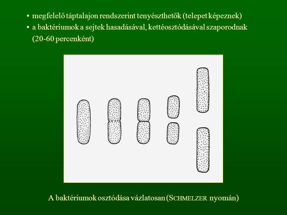 A baktériumok osztódása vázlatosan (SCHMELZER nyomán)