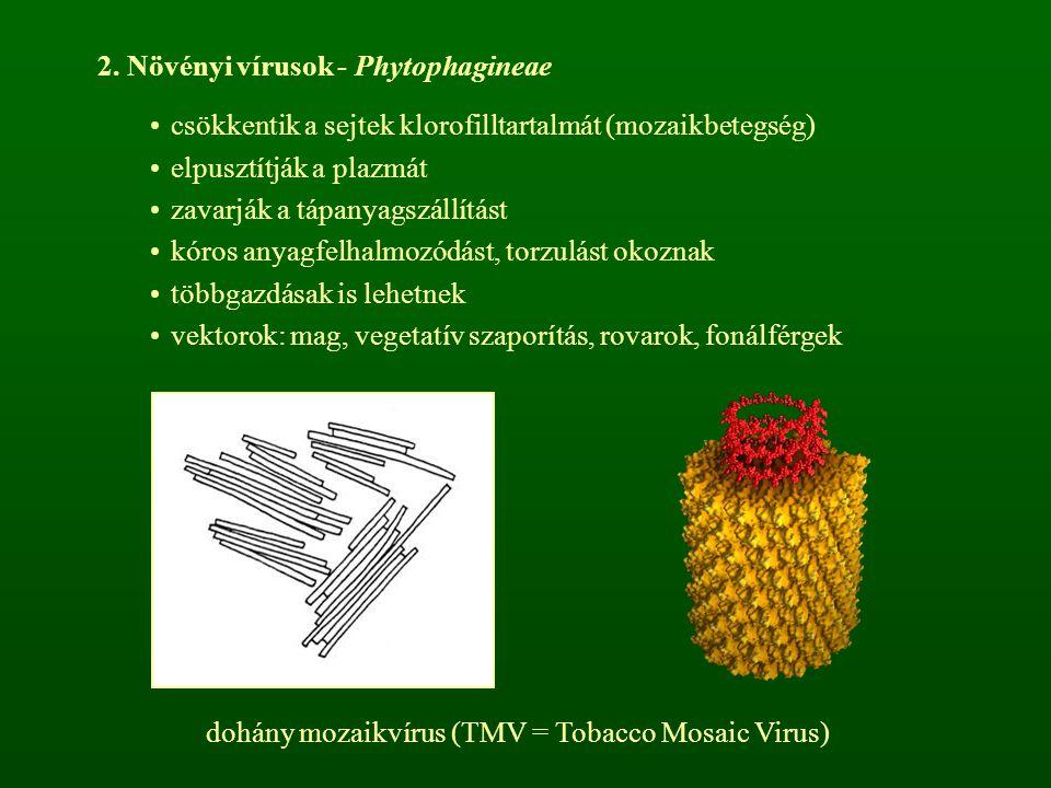 dohány mozaikvírus (TMV = Tobacco Mosaic Virus)