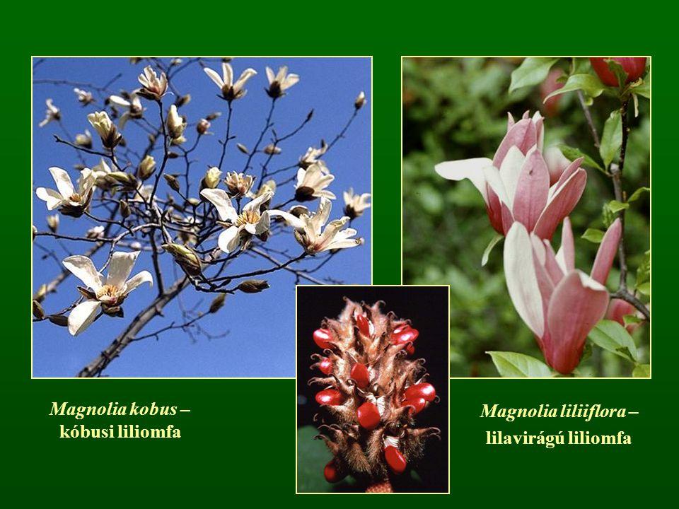 Magnolia kobus – kóbusi liliomfa
