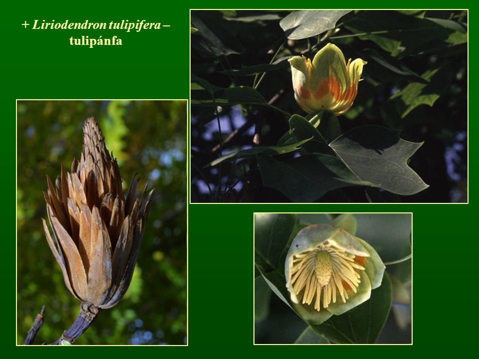 + Liriodendron tulipifera – tulipánfa