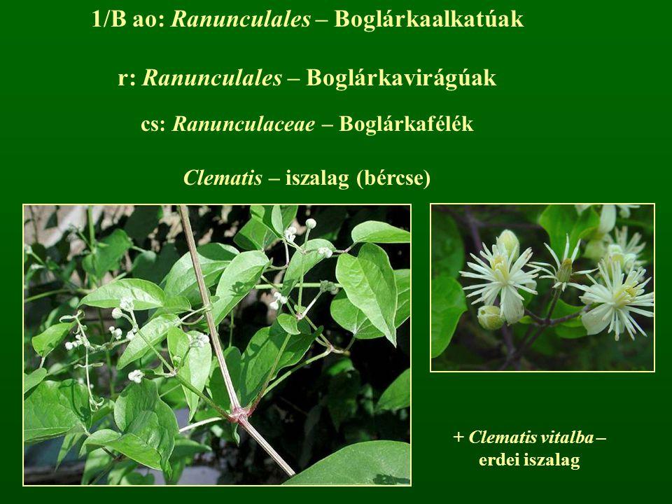 1/B ao: Ranunculales – Boglárkaalkatúak