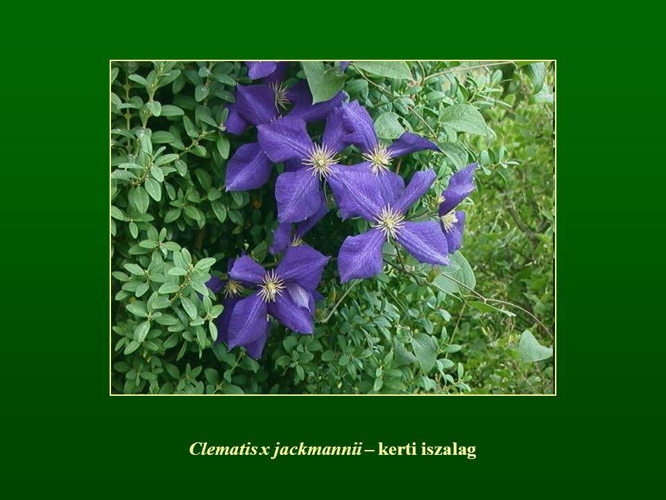 Clematis x jackmannii – kerti iszalag