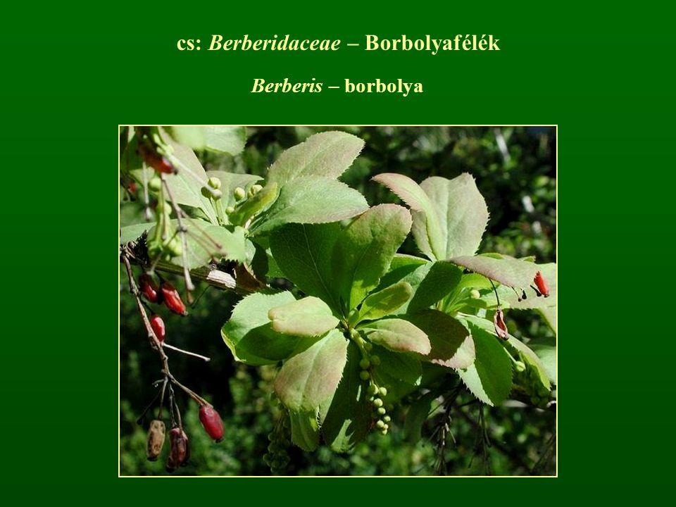 cs: Berberidaceae – Borbolyafélék