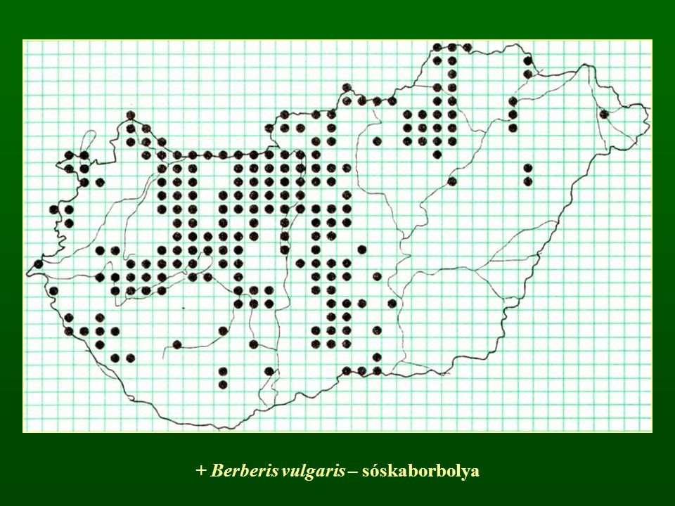 + Berberis vulgaris – sóskaborbolya